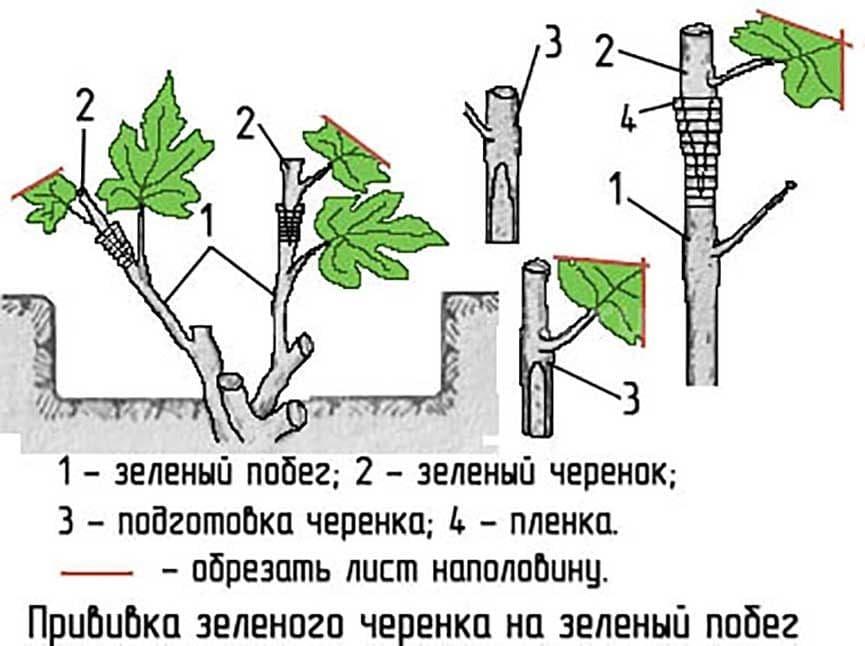 Как привить виноград весной: технология и правила проведения