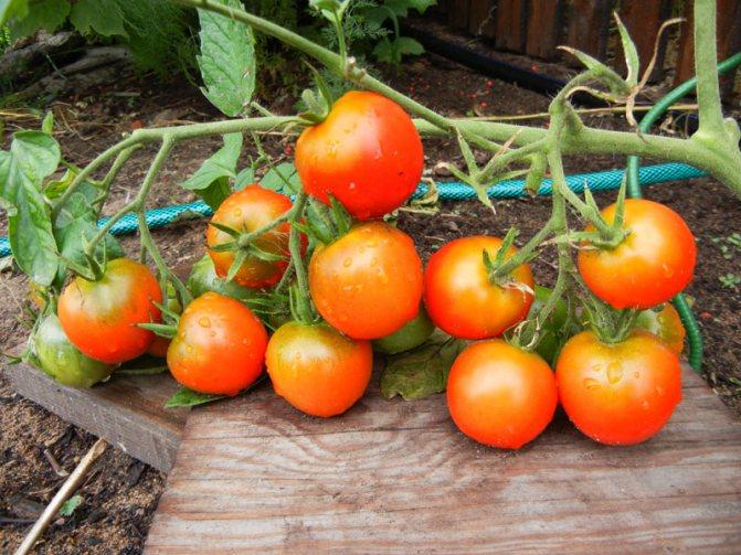 Описание сорта томата славянский шедевр, уход за растением - всё про сады