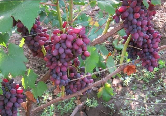 Сорт винограда юпитер: характеристики, посадка, уход