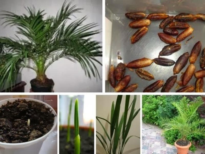 Как вырастить финиковую пальму из косточки в домашних условиях?