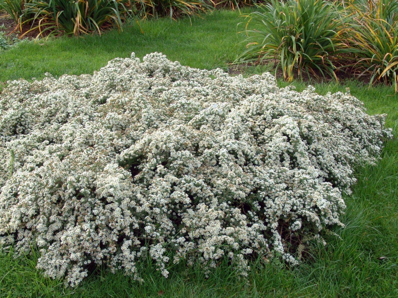 Астра новоанглийская (36 фото): описание травянистого растения для открытого грунта. посадка и уход за астрой американской