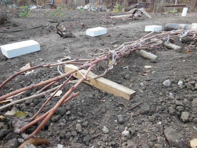 Как укрыть виноград на зиму в первый год после посадки
