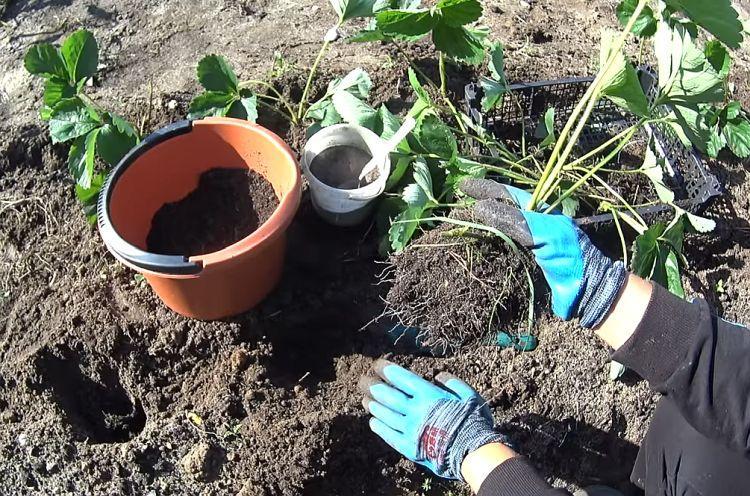 Когда пересаживать клубнику: весной, летом или осенью