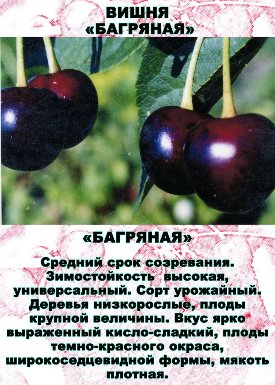 Лучшие сорта вишни, описание с фото, отзывы