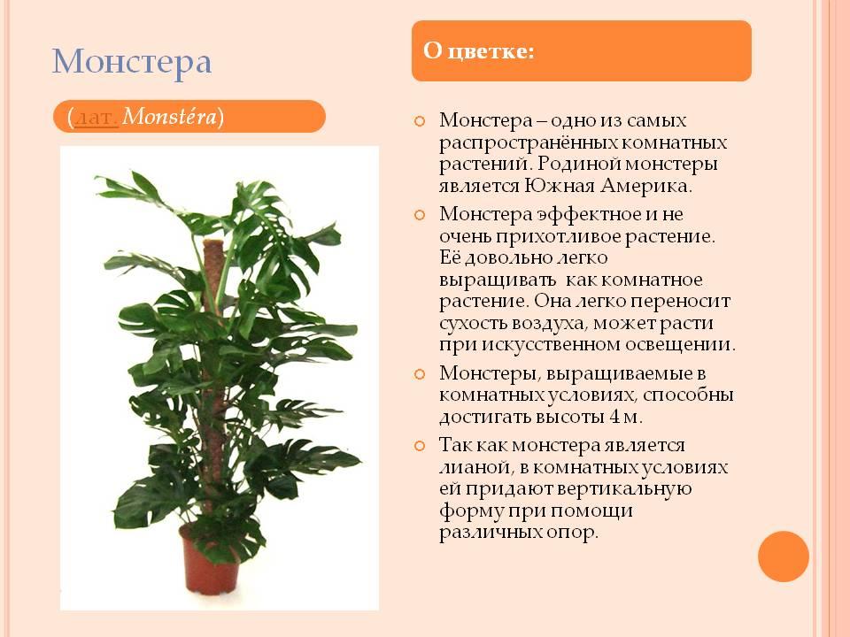 Монстера - фото, размножение, когда цветет, как пересадить, описание, болезни и вредители
