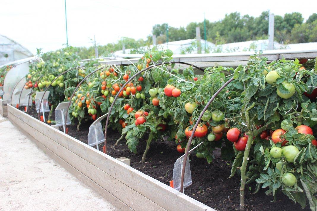 Технология выращивания помидоров: фото, видео ухода, как правильно выращивать томаты на дачном участке