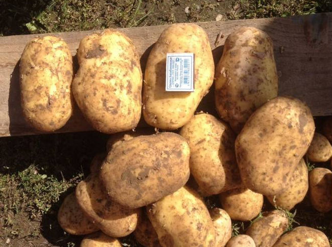 Картофель сорта коломба - описание и характеристики корнеплода
