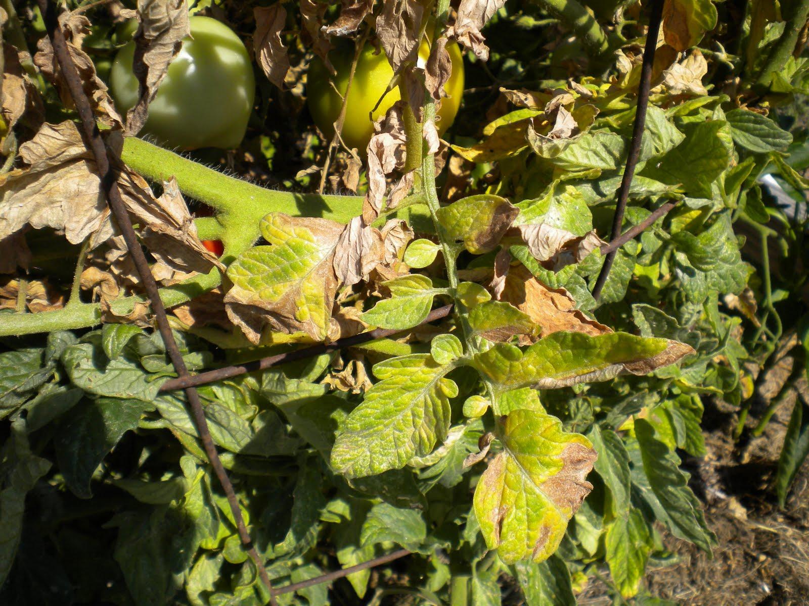 Лечение помидоров. обработка томатов от фузариозного увядания