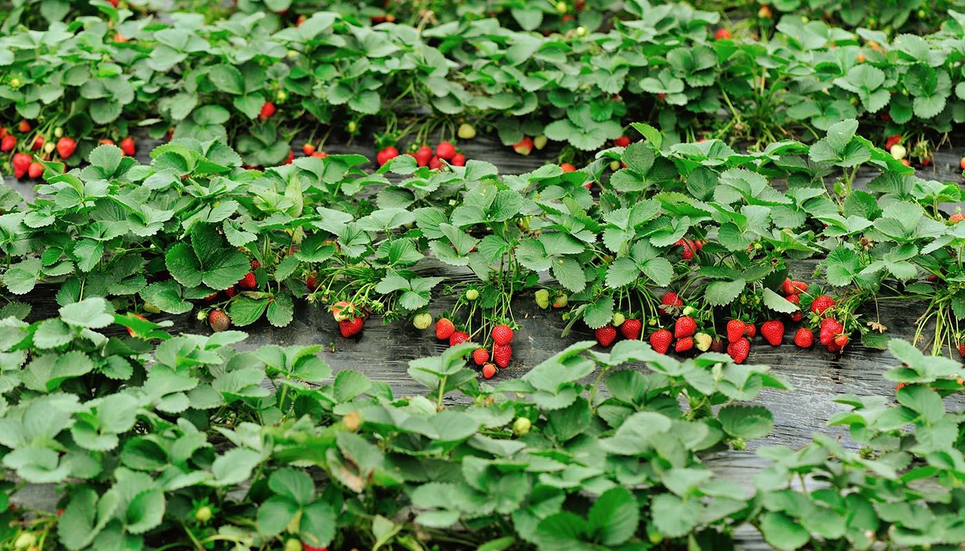 Лучшие сорта ремонтантной клубники для выращивания в сибири: правильный уход