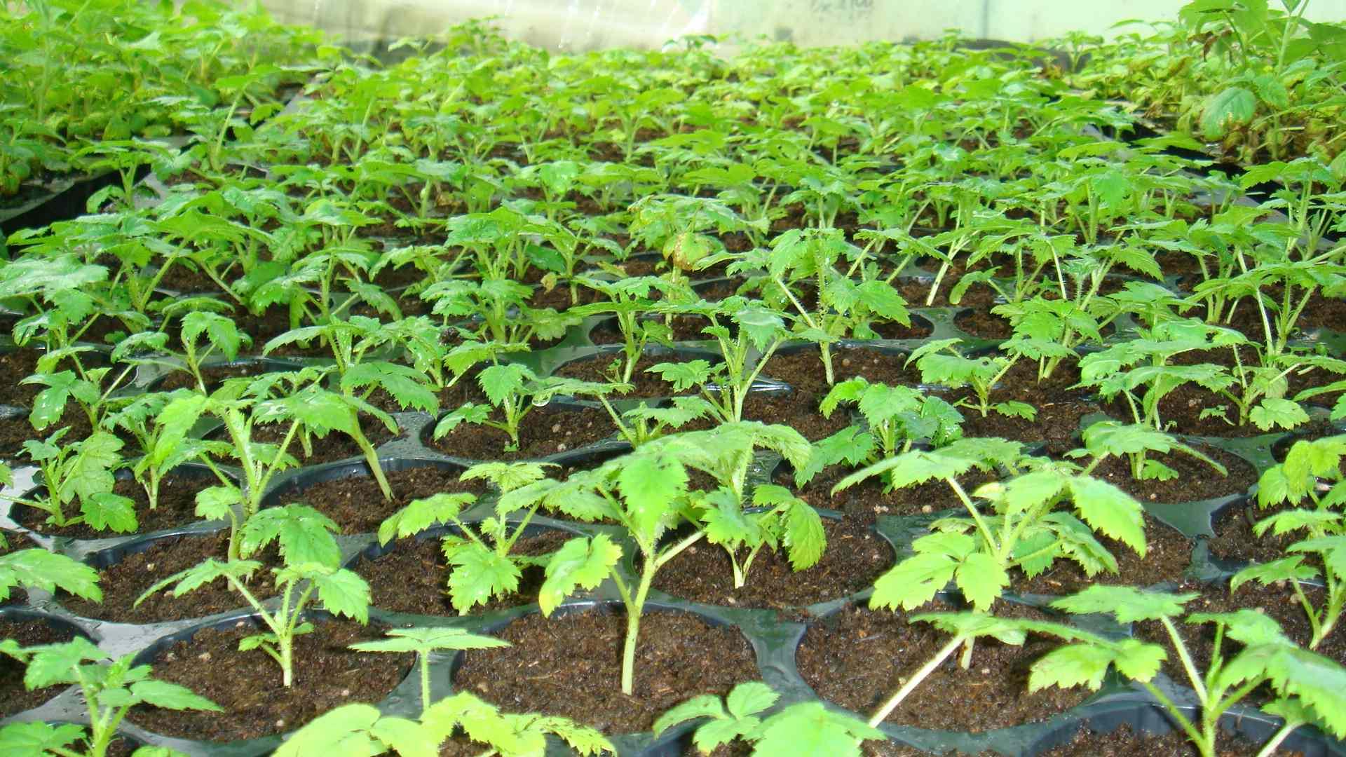 Вырастить малину из семян в домашних условиях 2021