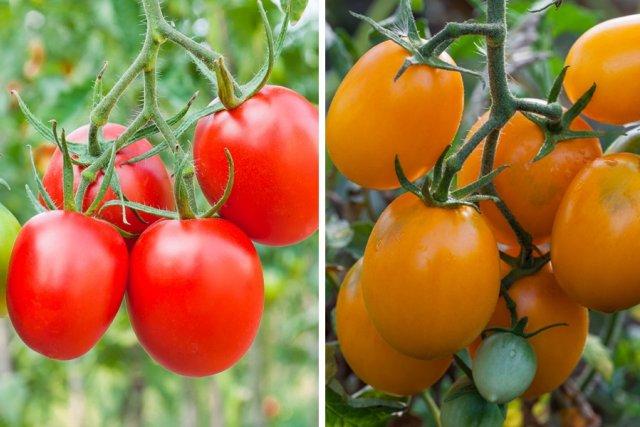 Лучшие сорта томатов на 2021 год для теплиц в подмосковье: описание сорта с фото, отзывы огородников