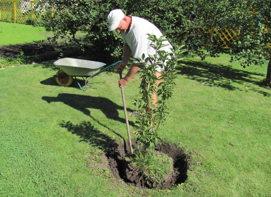 Пересадка яблони летом: советы бывалых о том, можно ли ее делать и как? | tele4n.net