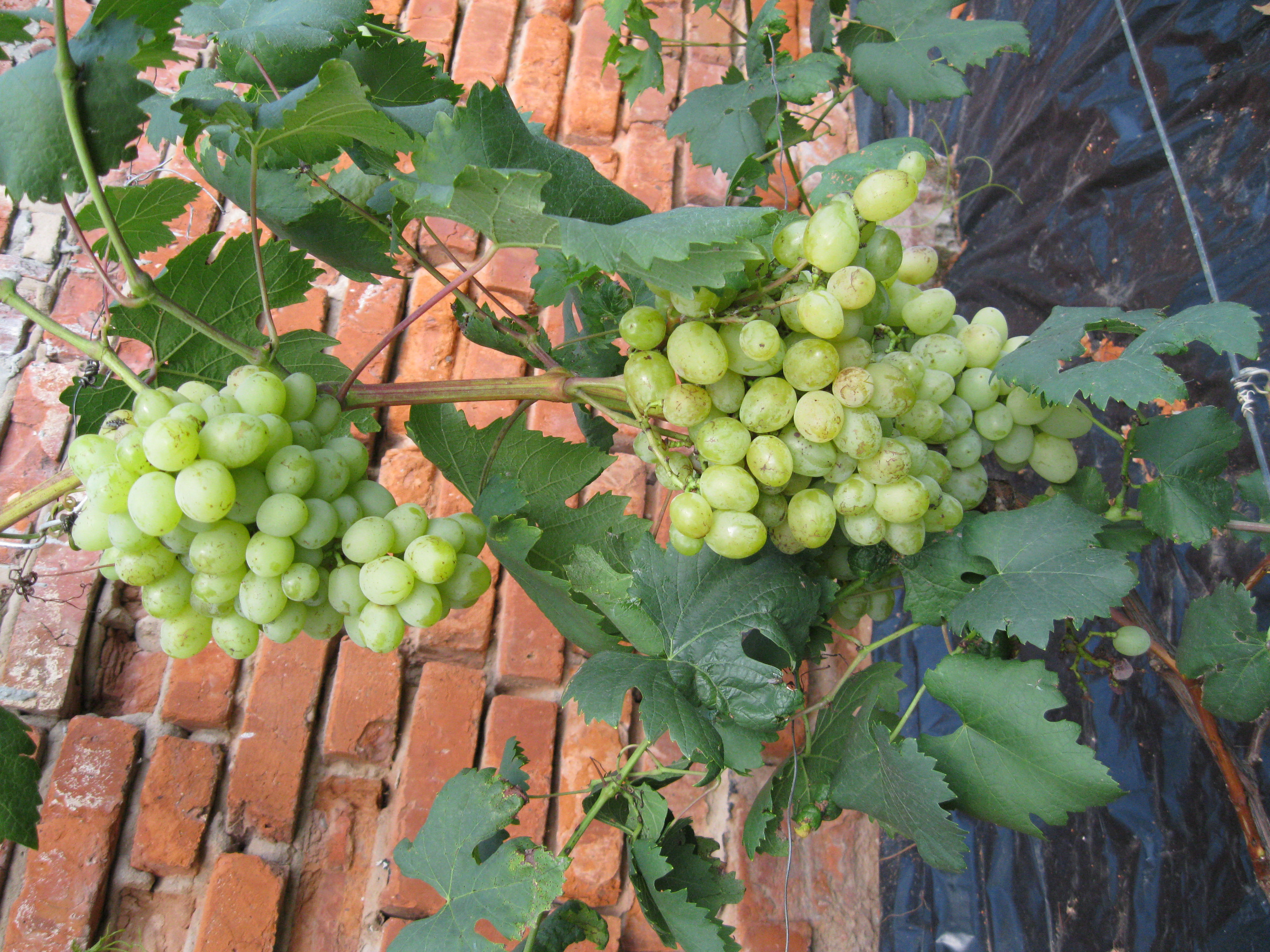 Виноград галахад: описание сорта, фото, характеристики и особенности, история выведения selo.guru — интернет портал о сельском хозяйстве