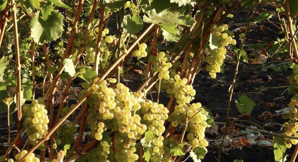 Сорт винограда бианка: общая характеристика, особенности посадки и ухода
