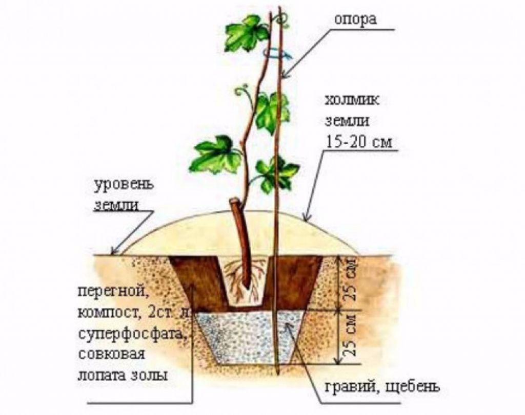 Как пересадить виноград на другое место осенью: схема, видео, фото