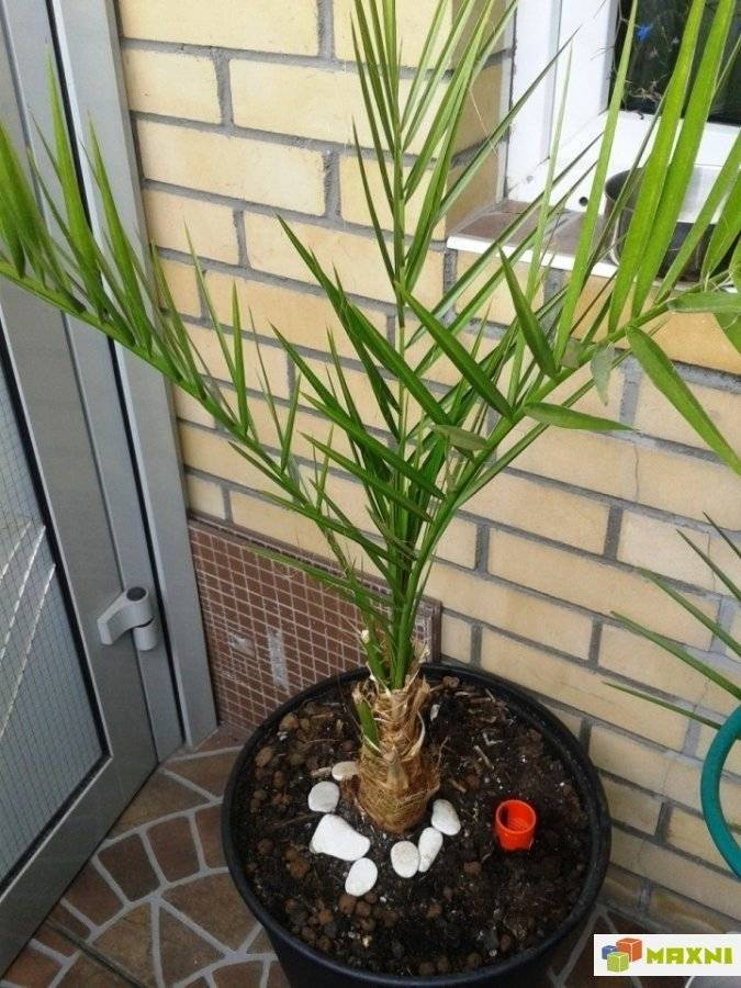 Финиковая пальма из косточки в домашних условиях — фото, видео