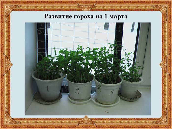 Свежая зелень на вашем столе: выращивание щавеля на балконе или подоконнике