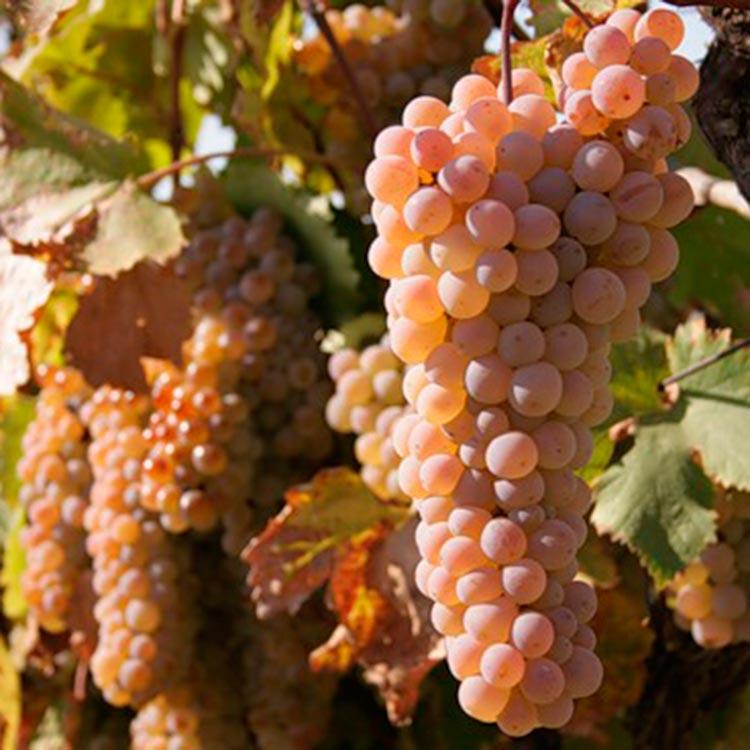 Ркацители или «красная лоза» — лидирующий белый виноград - сорта винограда, винные   описание, советы, отзывы, фото и видео