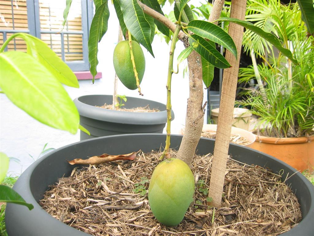 Как вырастить манго из косточки в домашних условиях - особенности выращивания плодоносящего манго (120 фото)