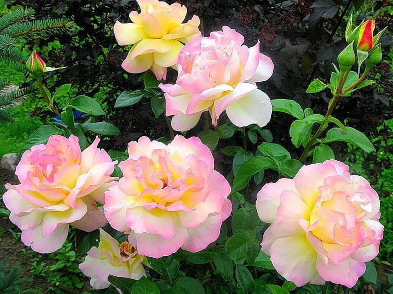 Роза глория дей: топ секреты посадки и ухода с описанием и фото