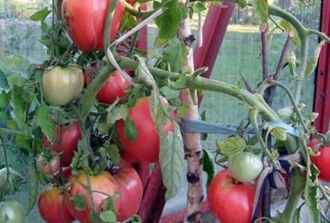 """Томат """"президент"""" f1: описание и характеристики сорта, рекомендации по уходу и выращиванию, урожайность, высота куста и фото плодов-помидоров русский фермер"""