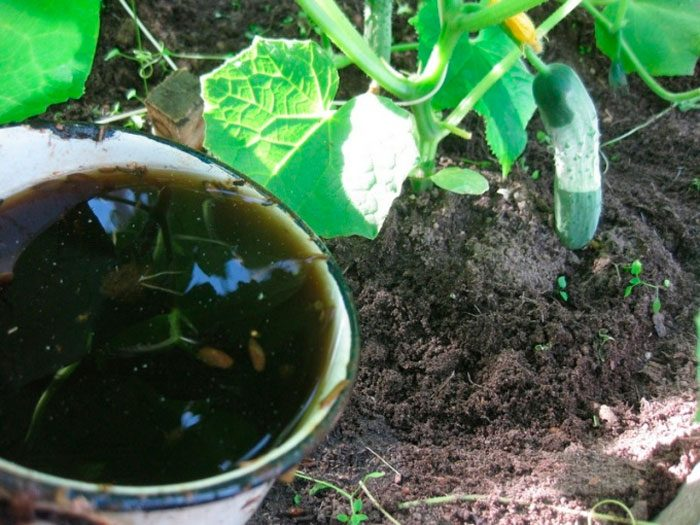 Как подкормить огурцы мочевиной: опрыскивание, правила обработки