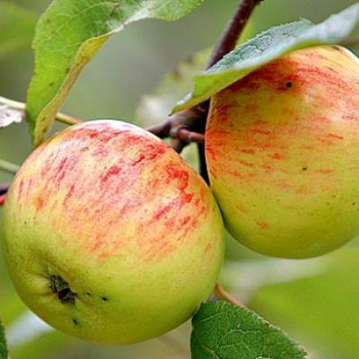 Карликовые яблони: топ-23 лучших сорта, описание и фото