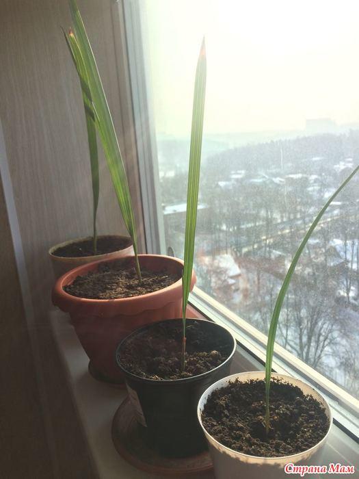 Финиковая пальма: описание, уход, выращивание (50 фото) +отзывы