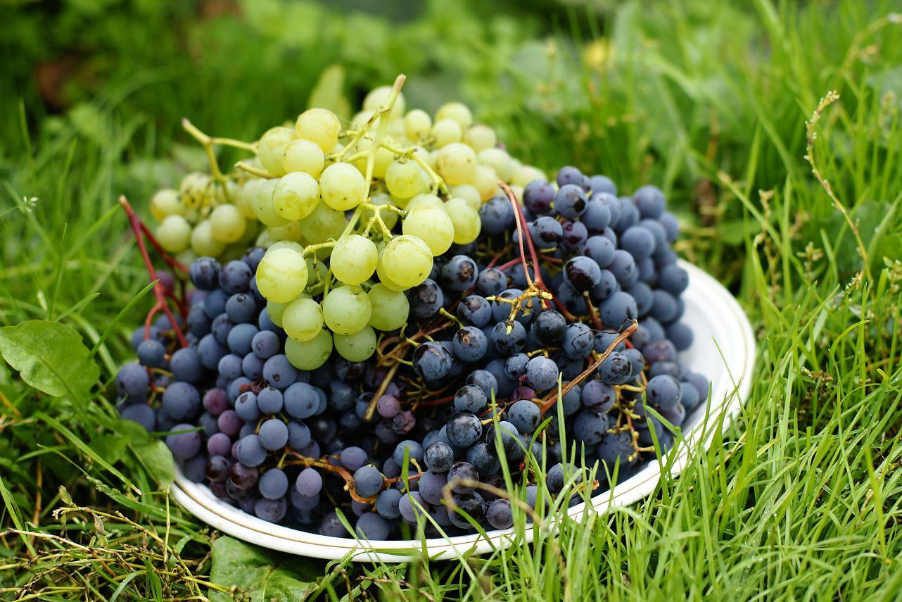 Сорта винограда для сибири: описание сортов и особенности ухода