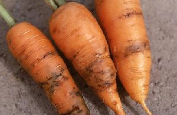 Червивая морковь — причины и методы борьбы с вредителями