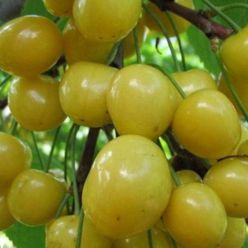 Черешня россошанская золотая: описание и характеристики сорта, выращивание с фото