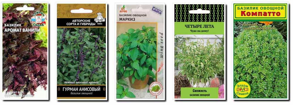 Ароматная приправа с целебными свойствами – зеленый и фиолетовый базилик. классификация по аромату