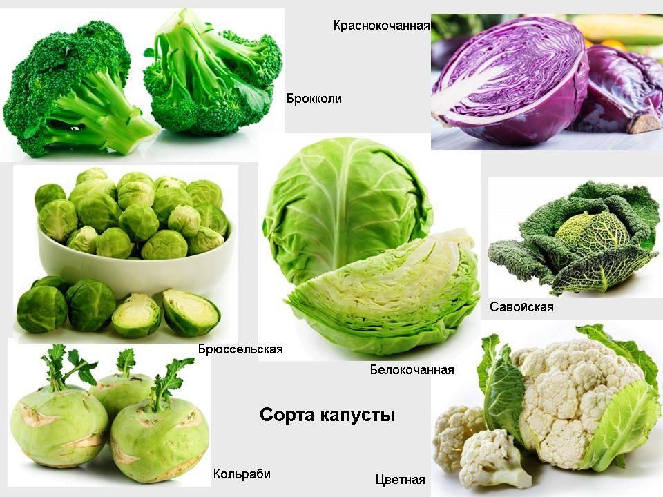 Виды капусты: названия всех лучших ранних и поздних сортов этого овоща, какие бывают для сибири и иных регионов, а также что такое листовая и кормовая культура?