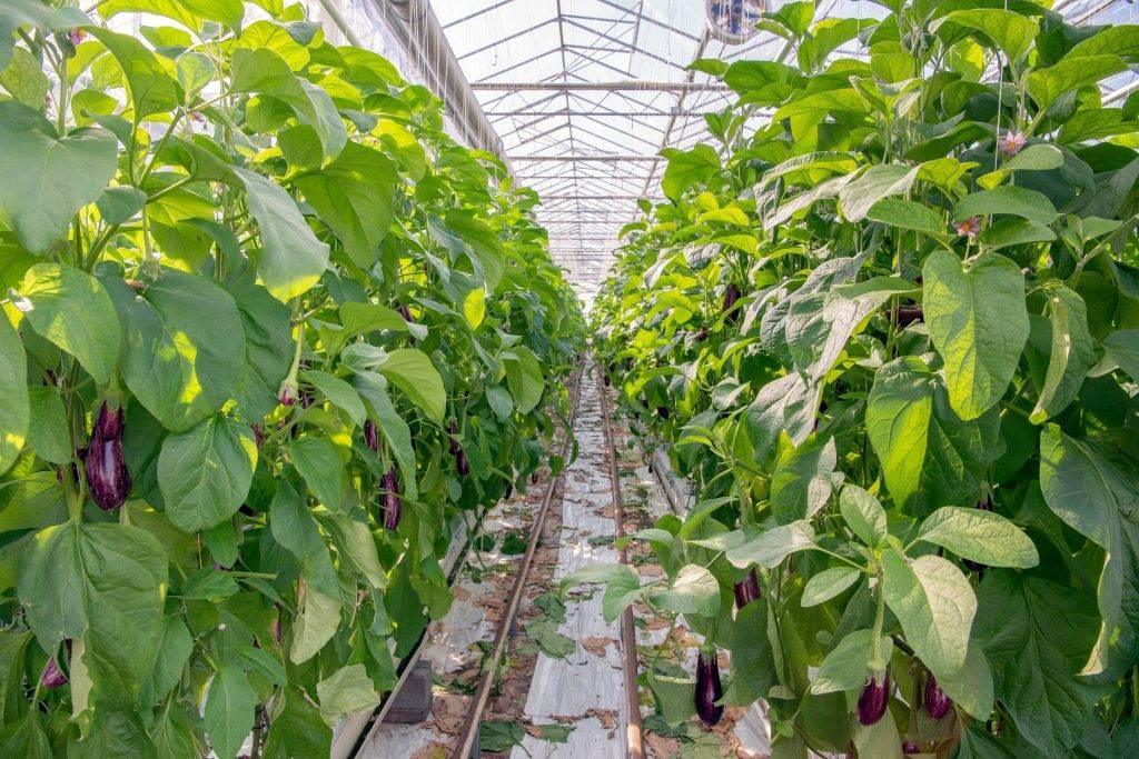 Баклажан - выращивание и уход в теплице из поликарбоната: какие сорта сажать лучше и как провести подкормку? русский фермер