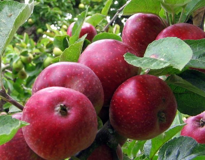 Яблоня коваленковское описание фото отзывы - скороспел