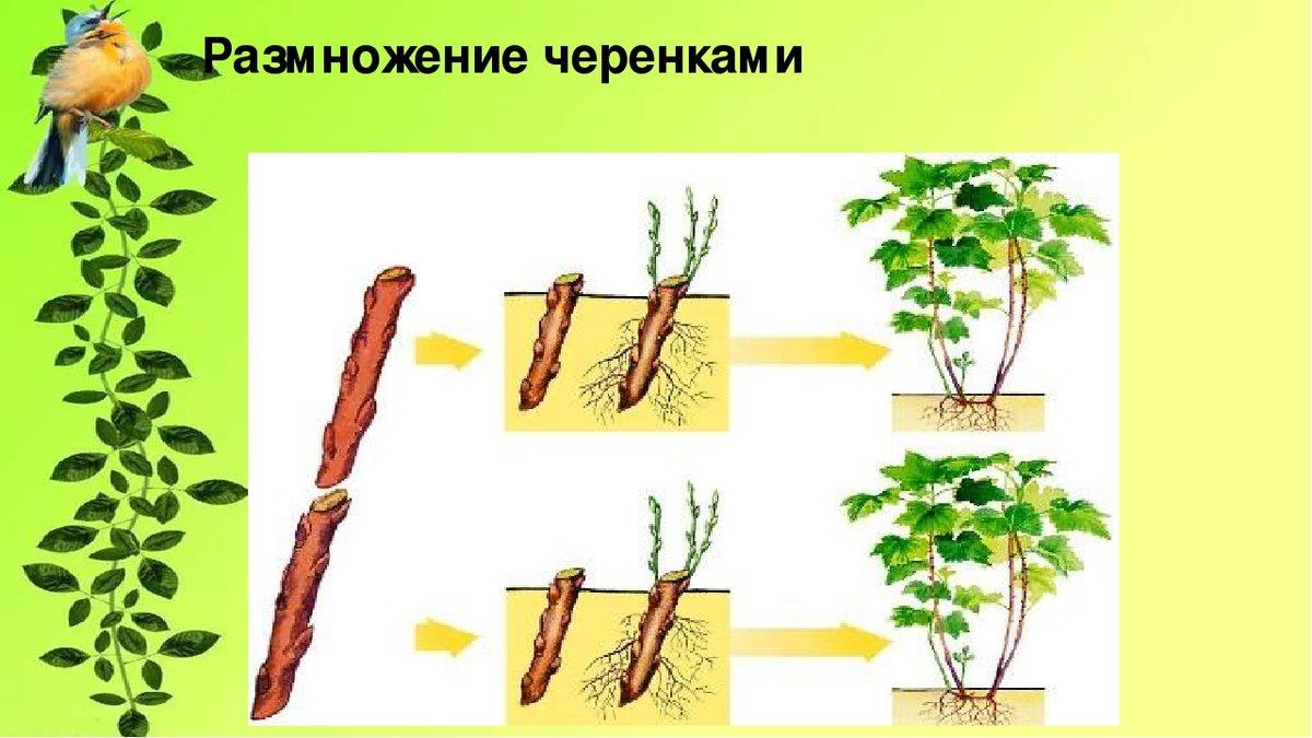 Как размножить сливу порослью