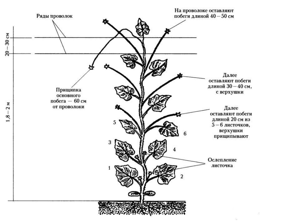 Как правильно формировать сладкий перец в теплице: схемы и правила формирования