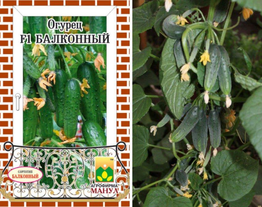 Огурец оконно-балконный f1: характеристика и описание сорта, фото, отзывы