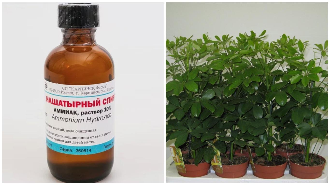 Подкормка растений нашатырным спиртом, как разводить?