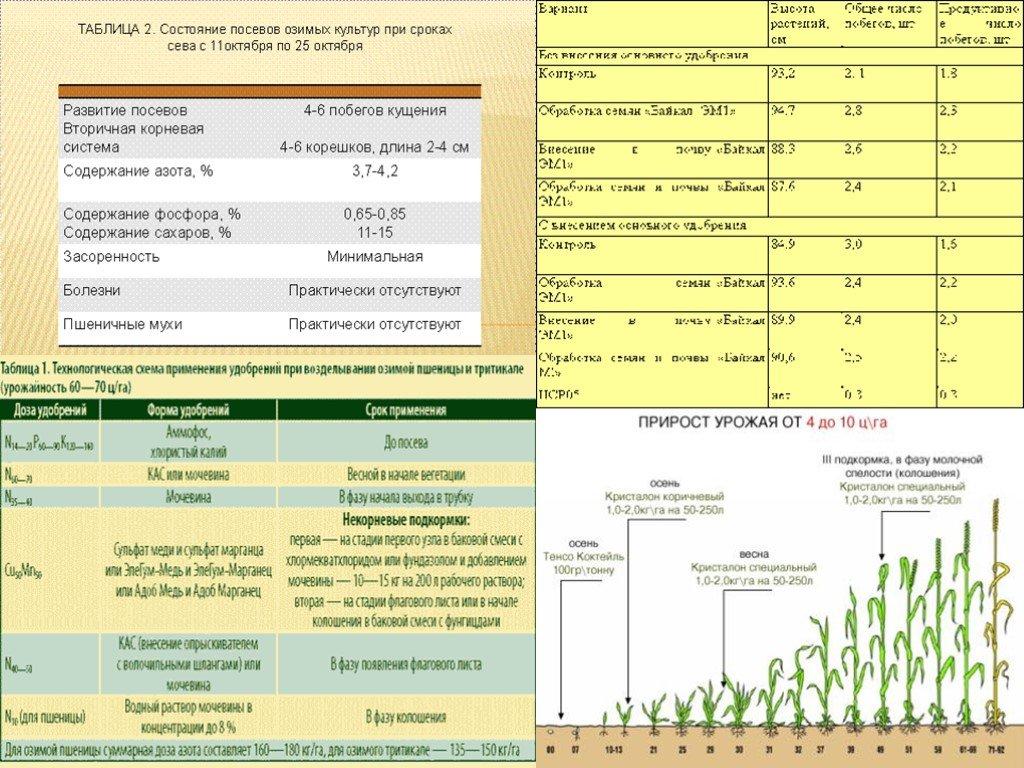 Курсовая работа: интенсивная технология возделывания кукурузы на силос