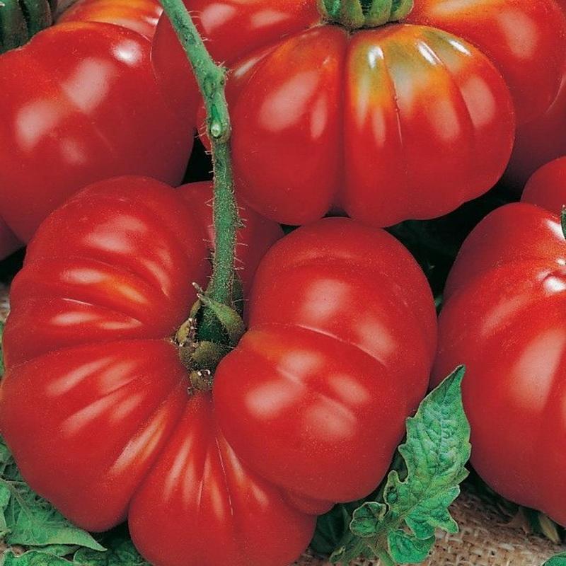 Томат кибо отзывы фото урожайность