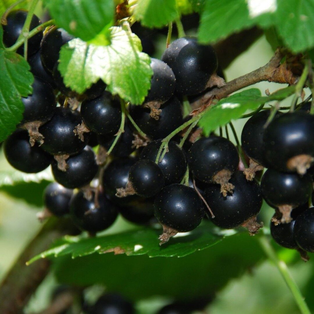 Смородина щедрая: описание сорта красной смородины, выращивание - посадка и уход