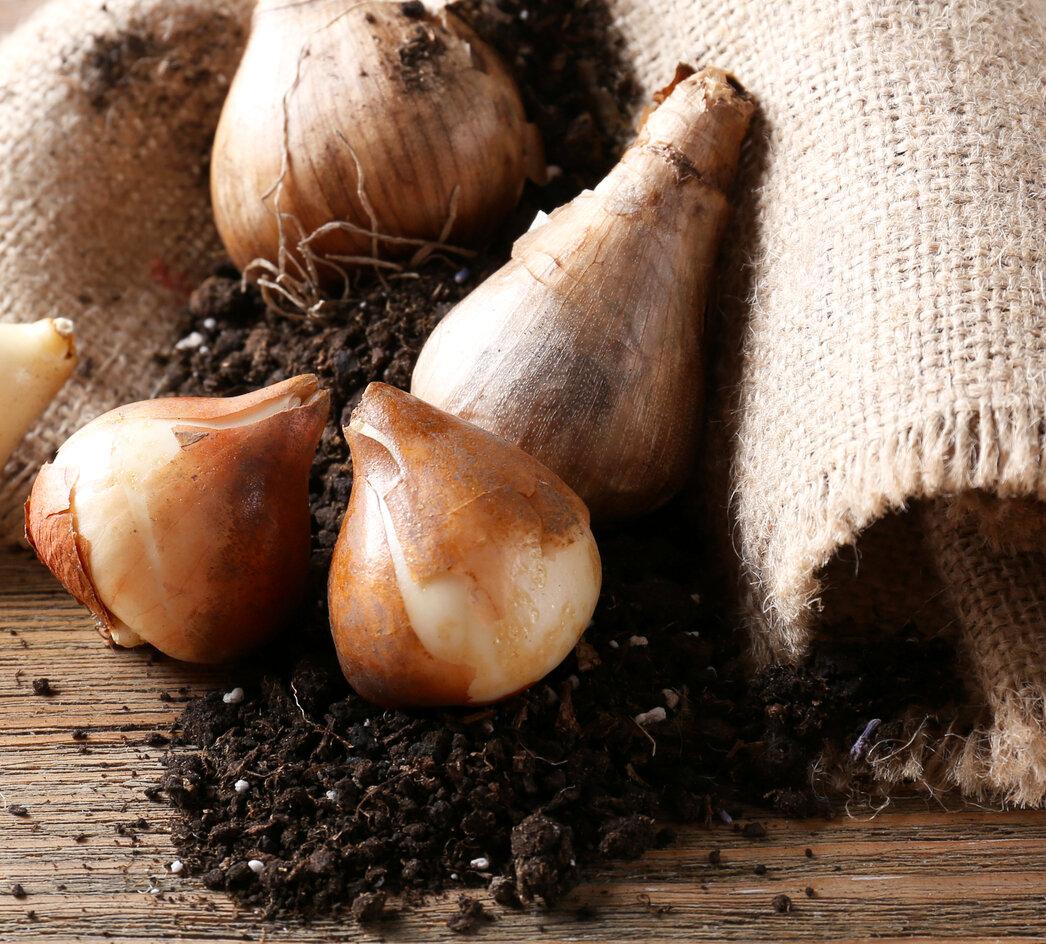 Где и как хранить луковицы тюльпанов до посадки, зимой, в домашних условиях