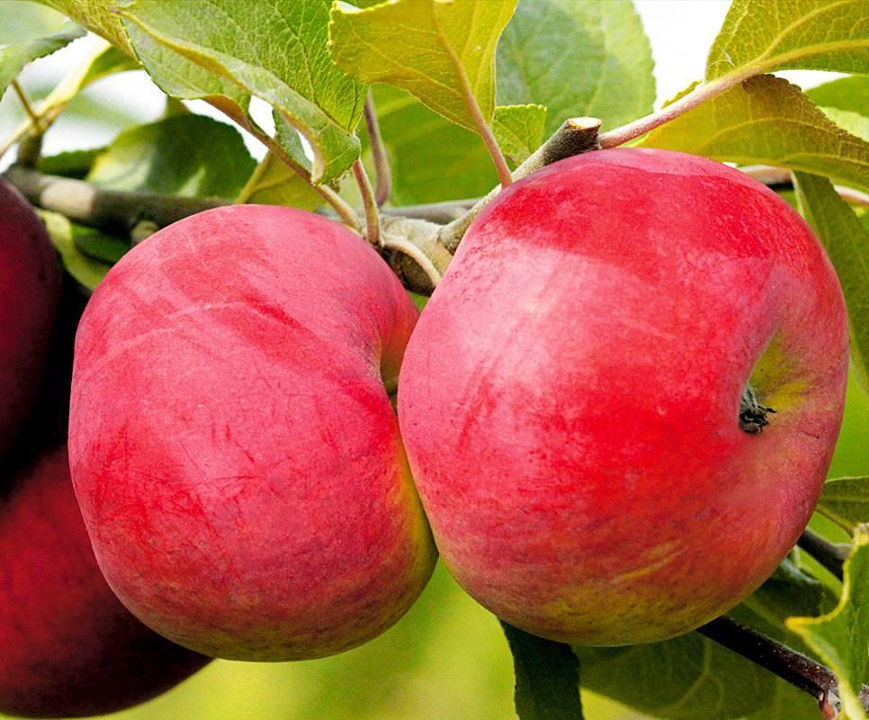 Яблоня благая весть — описание сорта, фото, отзывы