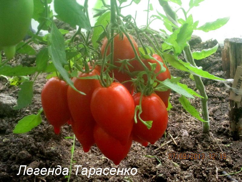 Томат легенда тарасенко мультифлора характеристика и описание сорта урожайность с фото