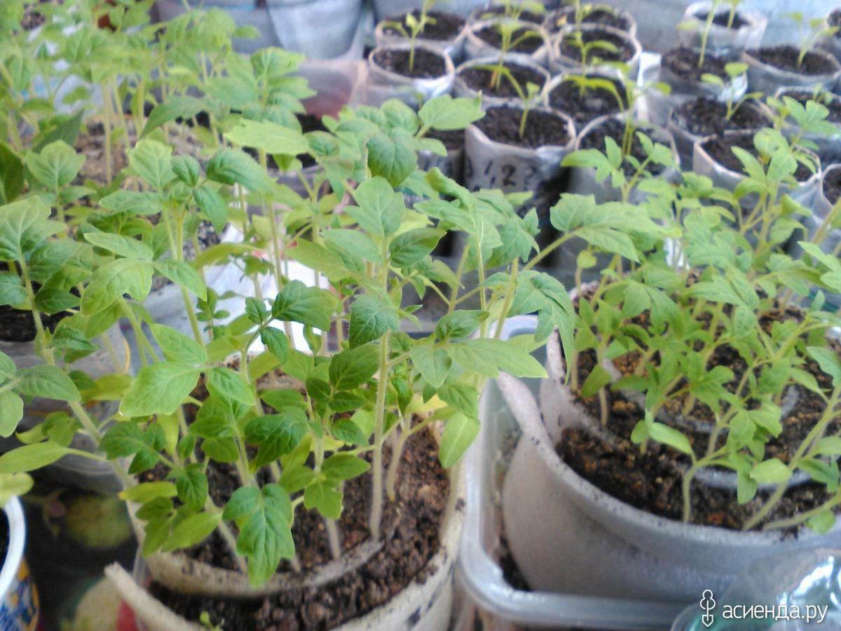Посев томатов в улитку и выращивание рассады с фото пошагово