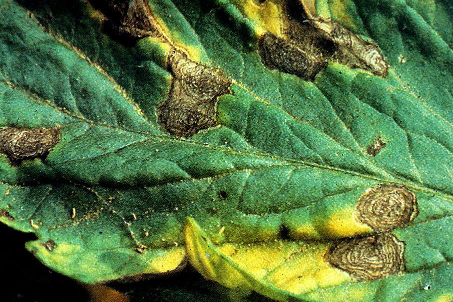 Альтернариоз томатов: причины и лечение сухих пятен на листьях с фото