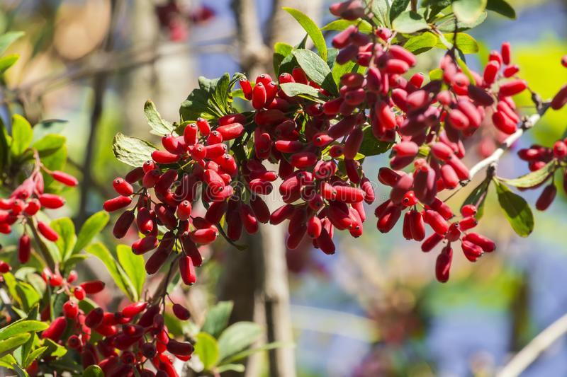 Барбарис обыкновенный — полезные свойства и рецепты для лечения | народная медицина