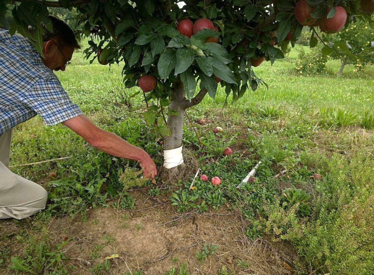 Как вырастить яблоню из черенка в домашних условиях