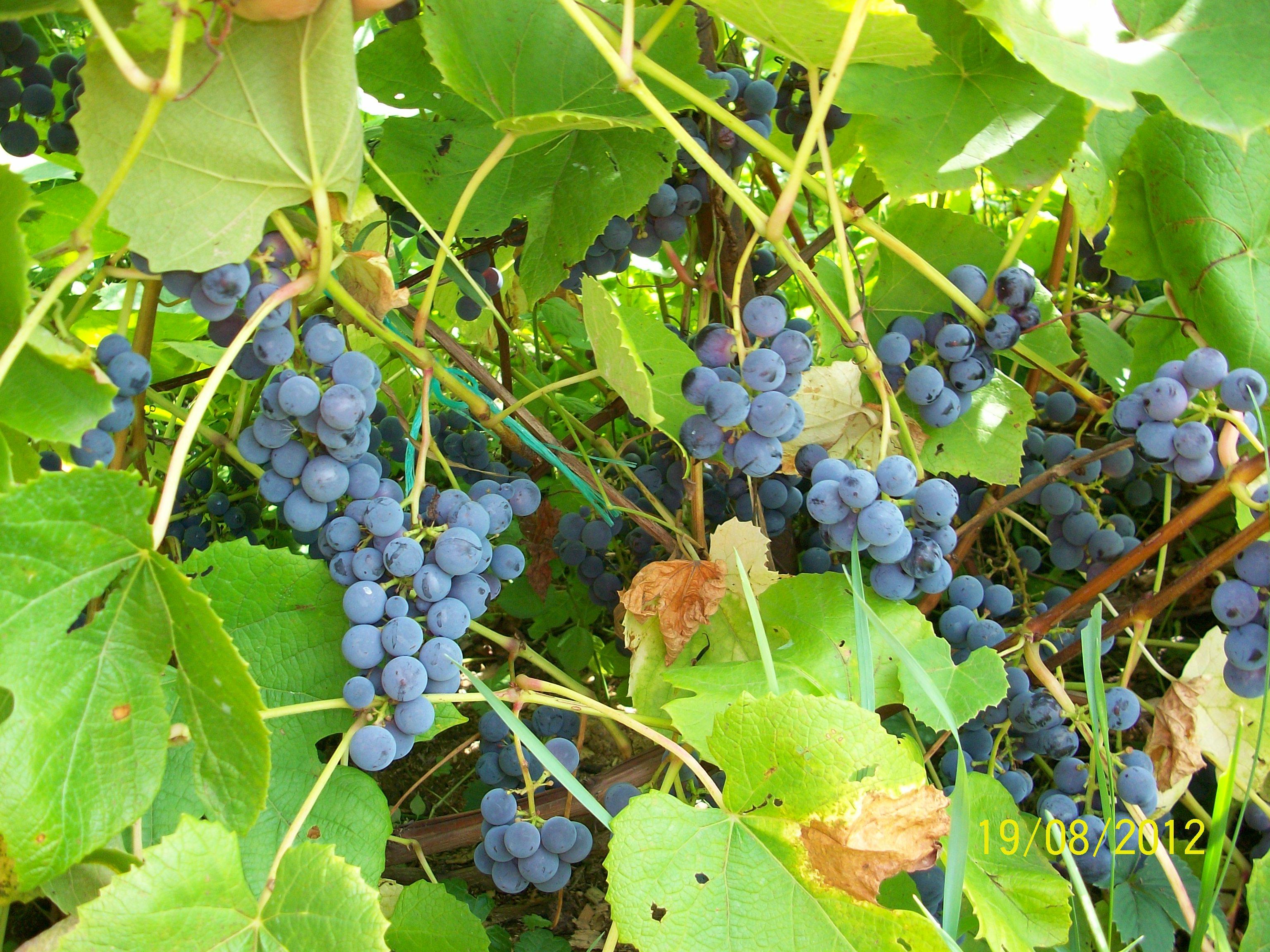 Описание сорта винограда зилга: характеристики, преимущества и недостатки